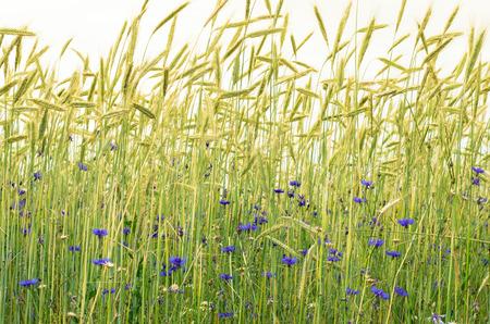 fiordaliso: blu fiordaliso nel campo di grano verde