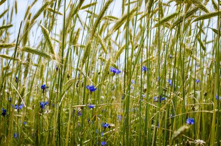 blue corn-flower in green wheat field