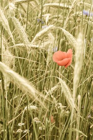 blue corn-flower and red corn-poppy flower in green wheat field photo