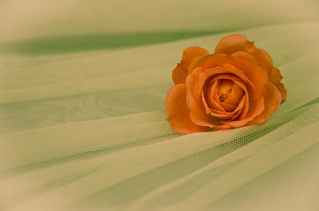 filtered: filtered orange rose over white background