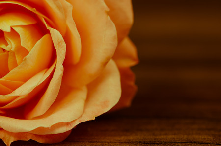 detail invitation: detail of beautiful blossoming orange rose Stock Photo