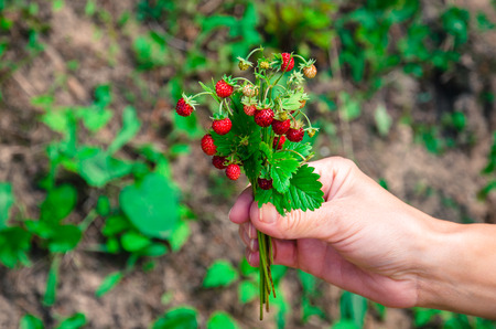 'wild strawberry: bunch of red wild strawberry with green leaves in human hand Stock Photo