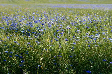 cornflower: blue corn-flower field image