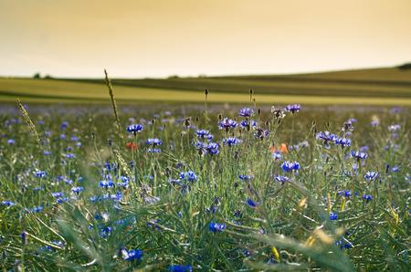 fiordaliso: campo di mais-fiore al tramonto Archivio Fotografico