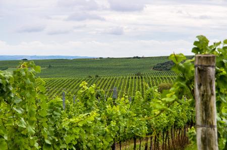 green vineyard in autum time