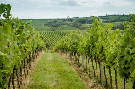 green plants: green vineyard in autum time