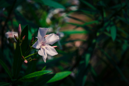 oleander: pink oleander flower detail and green leaves