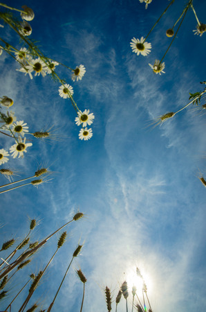 p�querette: groupe de fleurs de camomille et des pointes de seigle