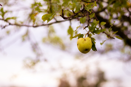 nostalgy: green autumn apple in tree in autumn time
