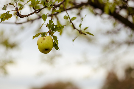 nostalgy: green wormy autumn apple in tree in autumn time Archivio Fotografico