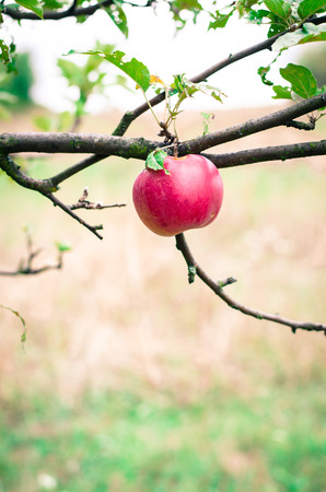 nostalgy: red apple in tree in autumn time Stock Photo