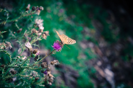 nostalgy: orange butterfly in pink thistle in autumn time Archivio Fotografico