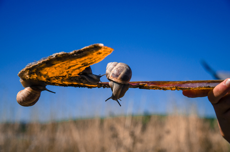 creep: two snails on the shell Stock Photo