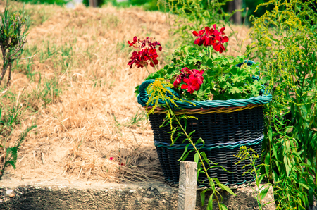 wicket: red pelargonium flower in wicket basket