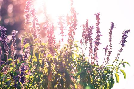 pink lavender flower in sunlight