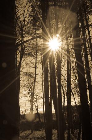 tall tree: shining sun and tall tree trunks