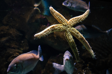 fishtank: yellow startish in the tank with another fishes