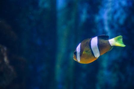 fishtank: colorful white orange clownfish swimming in blue water in fish-tank