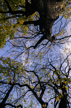 treetops: autumn tree-tops and blue sky Stock Photo