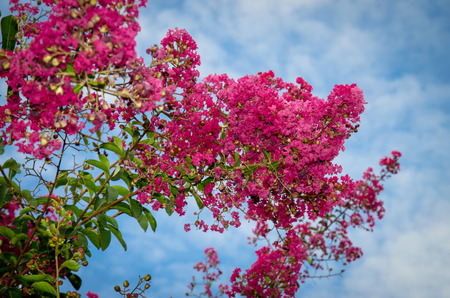 oleander: pink oleander flower against blue sky