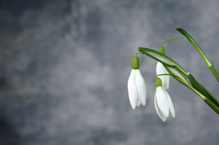 copy  space: white snowdrop flowers copy space