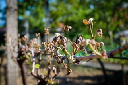 damaged: damaged dry vineyard plant