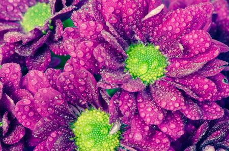waterdrops: bright chrysanthemum flower with waterdrops