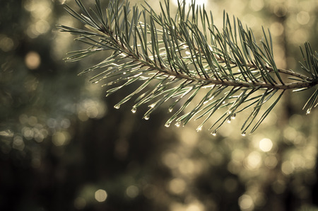 desaturated: detail of pine branch desaturated effect