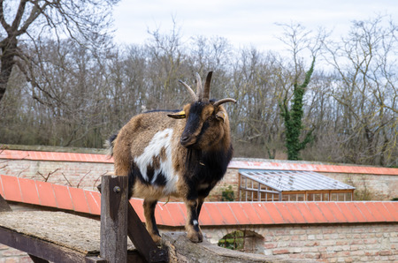 billy goat with horns in nature Stock Photo