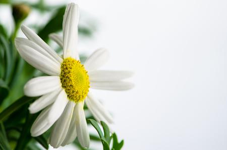 marguerite: beautiful blossoming white chrysanthemum flower