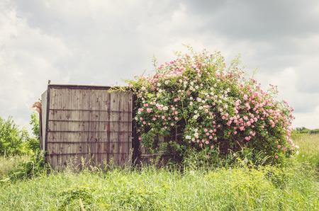 Busch aus rosa Rosen und Holzschuppen