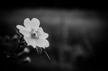 rose hip flower and dark background monochrome effect