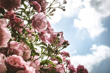 blossoming bush of pink roses dramatic effect and blue sky with clouds