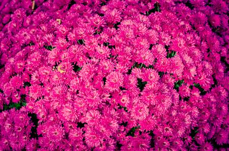 bunch of colorful chrysanthemum flower