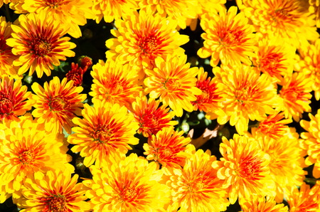 blossoming group of yellow chrysanthemum flowers Stock Photo