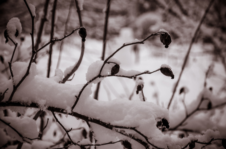 Twigs covered by snow in winter time