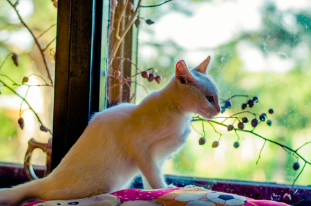 adorable cute white cat sitting next to the window and looking through