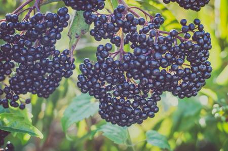 healthy ripe black elderberries cluster