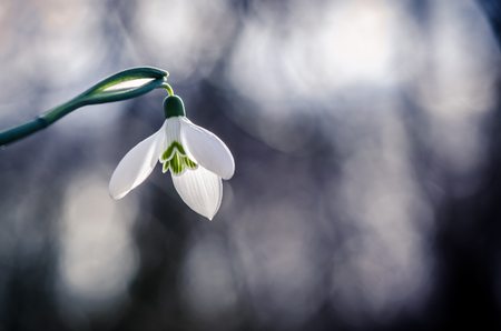 white blossoming snowdrop against blue background