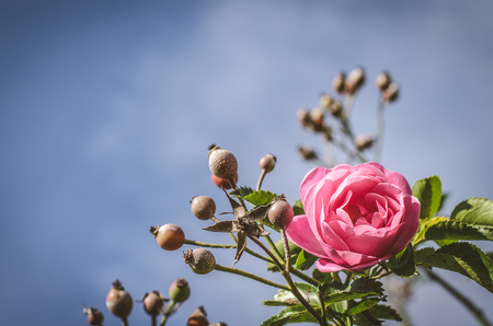 blossoming pink rose and rose hip in green leaves background