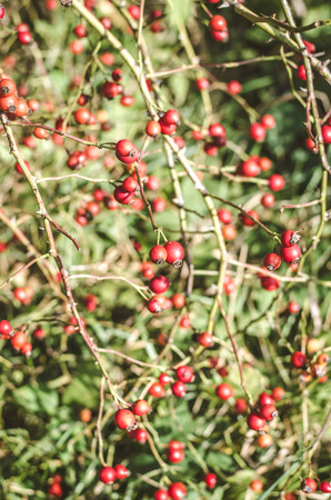 red briar berry fruits in autumn nature