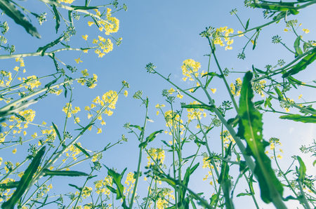 yellow rapeseed flowers and blue sky