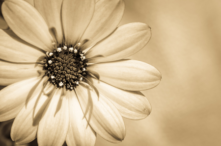 blossoming gerbera flower detail sepia tone