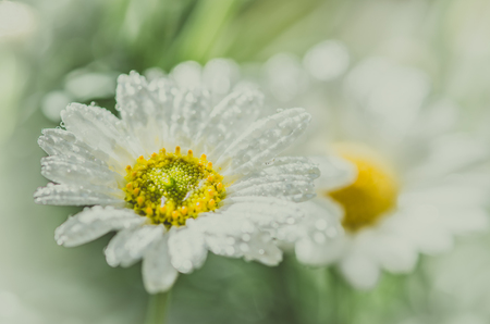 blossoming white gerbera daisy flower