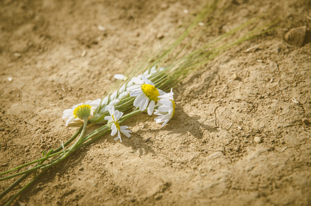 camomile flowers in sandy background