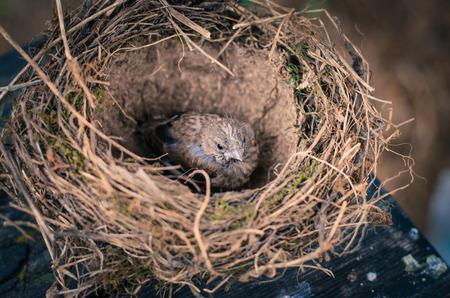 little lovely sparrow alone in nest