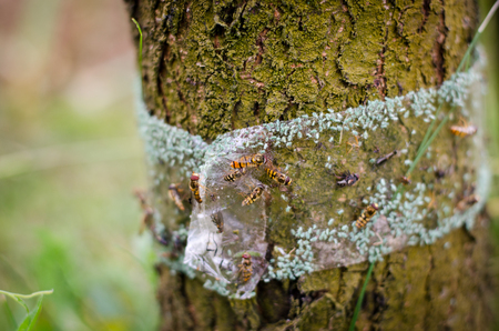 tree protected with adhesive tape against parasites