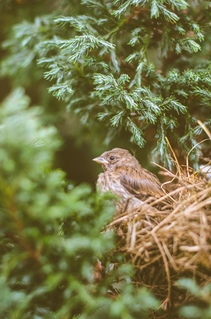 little lovely sparrow alone in nest