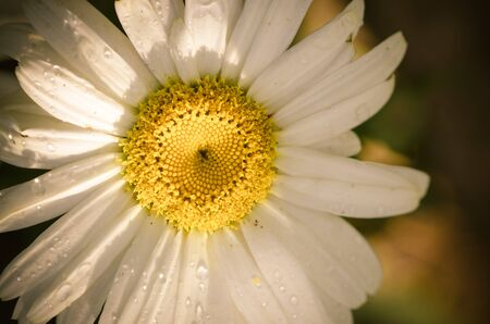 blossoming white daisy flower detail
