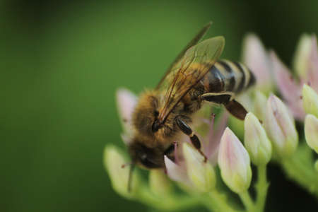 nectar: Bee on a flower colecting nectar
